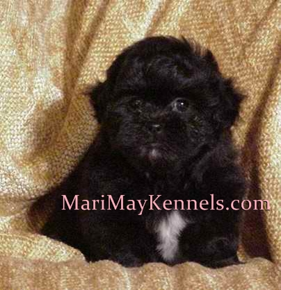 MariMay Shihpoo puppies for sale, Michigan